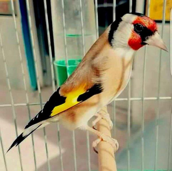 Le Chardonneret un professeur cours de chant et technique vocale pour tous les oiseaux ;) (y) <3 Le Chardonneret un oiseau magique <3 Toujours le top (y)
