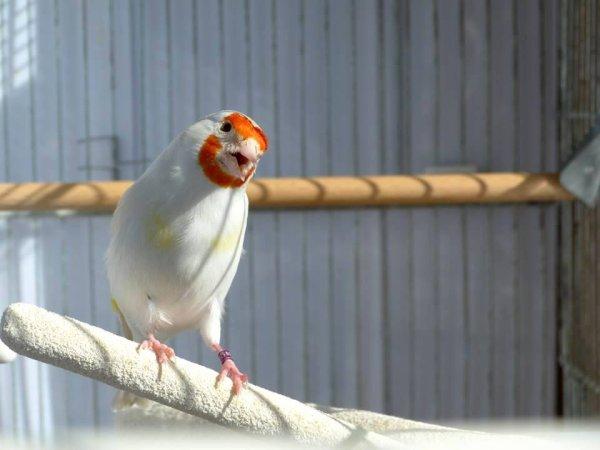 L'Émerveillement Total Le Chardonneret blanc ou isabelle très belle Mutation  <3 Le Chardonneret oiseau super beau <3