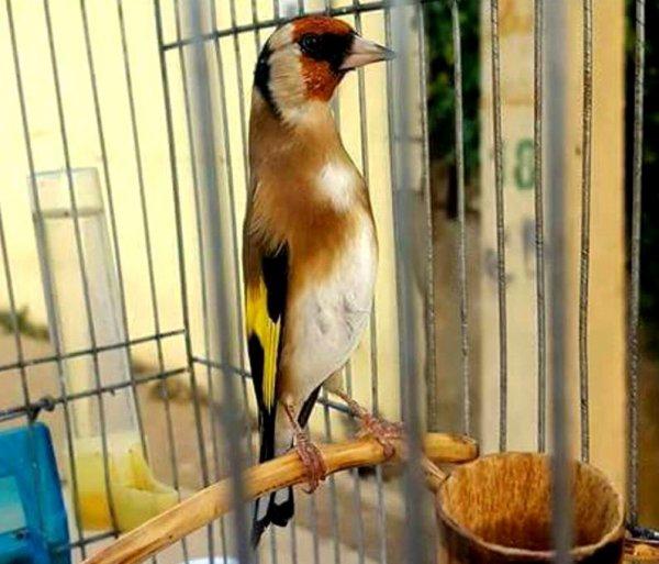 Le Chardonneret oiseau très classe un charmeur <3 <3 Le Chardonneret une vraie beauté <3 #الحسون #المقنين #القرديل #سهره  #Chardonnerert #Canari #Mulet #MuletOiseau #Oiseau #Birds #Animaux #Goldfich #Jilguero #Cardellino #καρδερίνα #Sakakuşu #Chien #Chat #Pigeon #Cheval #Science #Reptile #Poisson #Plantes #Hibiscus #Alger #Algérie #Tunisie #Maroc #ChardonneretGolden