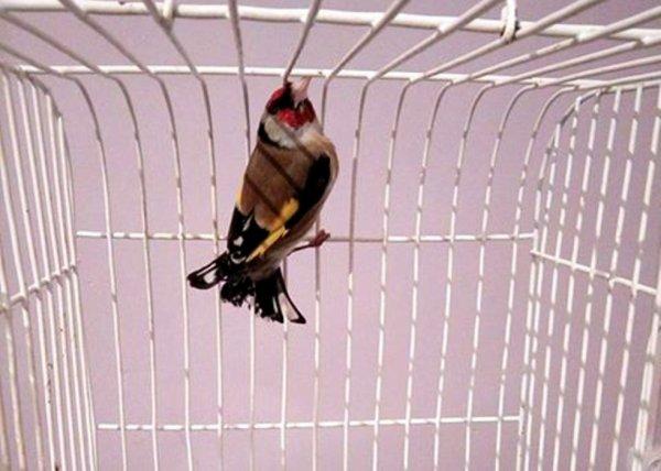 Très charmant (y)  de : Amine Koukou #الحسون #المقنين #القرديل #سهره  #Chardonnerert #Canari #Mulet #MuletOiseau #Oiseau #Birds #Animaux #Goldfich #Jilguero #Cardellino #καρδερίνα #Sakakuşu #Chien #Chat #Pigeon #Cheval #Science #Reptile #Poisson #Plantes #Hibiscus #Alger #Algérie #Tunisie #Maroc #ChardonneretGolden