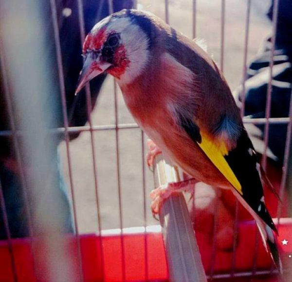 L'oiseau le plus populaire au monde et le plus aimer <3 par son chant et son plumage magnifique / Chardonneret mutation (y)  <3 Le Chardonneret toujours le meilleur <3 de : Âbd Èlhãk