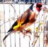 Mon Chardonneret chante moi une très belle mélodie et fais moi rêver  <3 Le Chardonneret Toujours le meilleur <3 #الحسون #المقنين #القرديل #سهره  #Chardonnerert #Canari #Mulet #MuletOiseau #Oiseau #Birds #Animaux #Goldfich #Jilguero #Cardellino #καρδερίνα #Sakakuşu #Chien #Chat #Pigeon #Cheval #Science #Reptile #Poisson #Plantes #Hibiscus #Alger #Algérie #Tunisie #Maroc #ChardonneretGolden