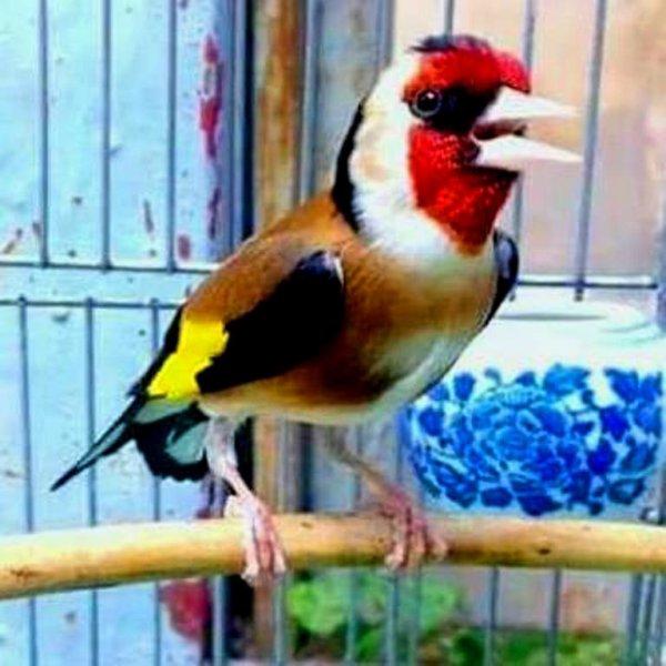 Tous les oiseaux se taisent devant ton Chant une varie puissance musicale (y) :)  <3 Le Chardonnneret toujours le plus fort <3 #الحسون #المقنين #القرديل #سهره  #Chardonnerert #Canari #Mulet #MuletOiseau #Oiseau #Birds #Animaux #Goldfich #Jilguero #Cardellino #καρδερίνα #Sakakuşu #Chien #Chat #Pigeon #Cheval #Science #Reptile #Poisson #Plantes #Hibiscus #Alger #Algérie #Tunisie #Maroc #ChardonneretGolden