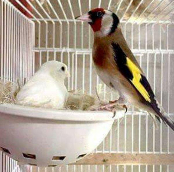 Magnifique couple Chardonneret X canari  de : Fethi Ferjeni