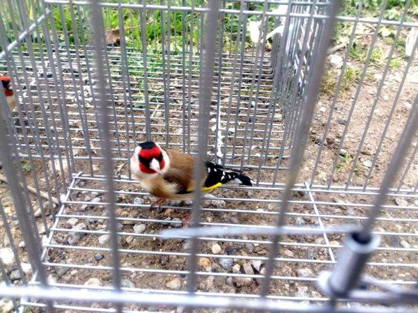 Très belle prise top  de : Maknine Chardon #الحسون #المقنين #القرديل #سهره  #Chardonnerert #Canari #Mulet #MuletOiseau #Oiseau #Birds #Animaux #Goldfich #Jilguero #Cardellino #καρδερίνα #Sakakuşu #Chien #Chat #Pigeon #Cheval #Science #Reptile #Poisson #Plantes #Hibiscus #Alger #Algérie #Tunisie #Maroc #ChardonneretGolden