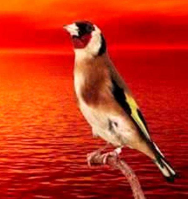 L'excellence (y) #الحسون #المقنين #القرديل #سهره  #Chardonnerert #Canari #Mulet #MuletOiseau #Oiseau #Birds #Animaux #Goldfich #Jilguero #Cardellino #καρδερίνα #Sakakuşu #Chien #Chat #Pigeon #Cheval #Science #Reptile #Poisson #Plantes #Hibiscus #Alger #Algérie #Tunisie #Maroc #ChardonneretGolden