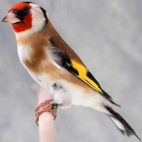 Un grand plaisir de regarde le Chardonneret oiseau multicolore (marron rouge noir jaune et blanc) et entendre son magnifique Chant  <3 Le Chardonneret un Grand oiseau Chanteur <3 #الحسون #المقنين #القرديل #سهره  #Chardonnerert #Canari #Mulet #MuletOiseau #Oiseau #Birds#Animaux #Goldfich #Jilguero #Cardellino #καρδερίνα #Sakakuşu#Chien #Chat #Pigeon #Cheval #Science #Reptile #Poisson #Plantes#Hibiscus #Alger #Algérie #Tunisie #Maroc #ChardonneretGolden