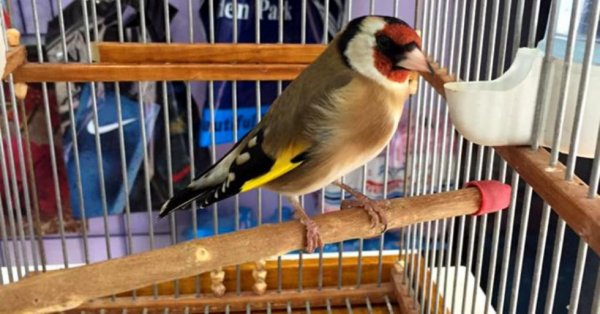 Le Meilleur oiseau passereau  de : Haroun Meziani #الحسون #المقنين #القرديل #سهره  #Chardonnerert #Canari #Mulet #MuletOiseau #Oiseau #Birds #Animaux #Goldfich #Jilguero #Cardellino #καρδερίνα #Sakakuşu #Chien #Chat #Pigeon #Cheval #Science #Reptile #Poisson #Plantes #Hibiscus #Alger #Algérie #Tunisie #Maroc #ChardonneretGolden