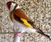 Vachement beau <3  <3 Le Chardonneret toujours le plus beau <3 #الحسون #المقنين #القرديل #سهره #Chardonnerert #Canari #Mulet #MuletOiseau #Oiseau #Birds #Animaux #Goldfich #Jilguero #Cardellino #καρδερίνα #Sakakuşu #Chien #Chat #Pigeon #Cheval #Science #Reptile #Poisson #Plantes #Hibiscus #Alger #Algérie #Tunisie #Maroc #ChardonneretGolden