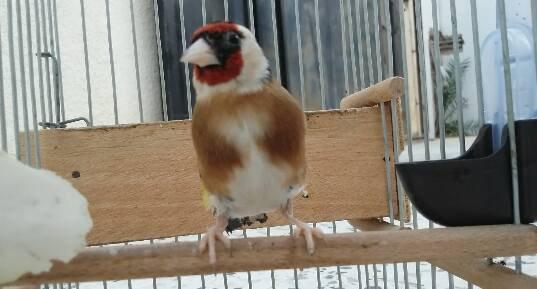 Très élégant <3  <3 Le Chardonneret toujours le plus beau <3 #الحسون #المقنين #القرديل #سهره #Chardonnerert #Canari #Mulet #MuletOiseau #Oiseau #Birds #Animaux #Goldfich #Jilguero #Cardellino #καρδερίνα #Sakakuşu #Chien #Chat #Pigeon #Cheval #Science #Reptile #Poisson #Plantes #Hibiscus #Alger #Algérie #Tunisie #Maroc #ChardonneretGolden