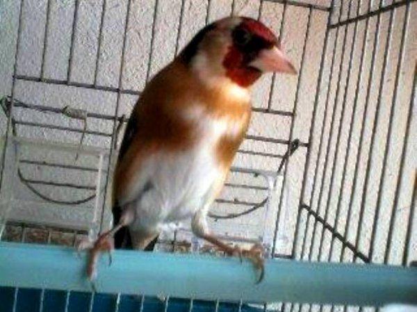 Mâle ou femelle ??? SVP ذكر أو أنثى de : Walid Yacine #الحسون #المقنين #القرديل #سهره #Chardonnerert #Canari #Mulet #MuletOiseau #Oiseau #Birds #Animaux #Goldfich #Jilguero #Cardellino #καρδερίνα #Sakakuşu #Chien #Chat #Pigeon #Cheval #Science #Reptile #Poisson #Plantes #Hibiscus #Alger #Algérie #Tunisie #Maroc #ChardonneretGolden