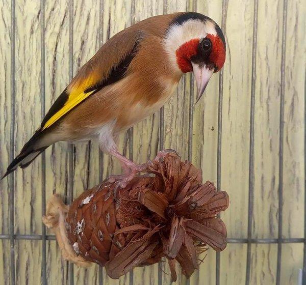 Absolument beau wooow de : Khaled Leulli #الحسون #المقنين #القرديل #سهره #Chardonnerert #Canari #Mulet #MuletOiseau #Oiseau #Birds #Animaux #Goldfich #Jilguero #Cardellino #καρδερίνα #Sakakuşu #Chien #Chat #Pigeon #Cheval #Science #Reptile #Poisson #Plantes #Hibiscus #Alger #Algérie #Tunisie #Maroc #ChardonneretGolden