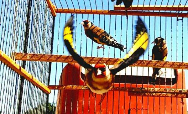 Le Chardonneret oiseau magique  (y) <3 Le Chardonneret toujours le meilleur <3 #الحسون #المقنين #القرديل #سهره #Chardonnerert #Canari #Mulet #MuletOiseau #Oiseau #Birds #Animaux #Goldfich #Jilguero #Cardellino #καρδερίνα #Sakakuşu #Chien #Chat #Pigeon #Cheval #Science #Reptile #Poisson #Plantes #Hibiscus #Alger #Algérie #Tunisie #Maroc #ChardonneretGolden