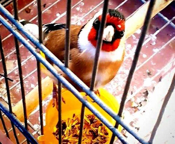 Le beau regard du Chardonneret  par : Mahy TiriGo #الحسون #المقنين #القرديل #سهره #Chardonnerert #Canari #Mulet #MuletOiseau #Oiseau #Birds #Animaux #Goldfich #Jilguero #Cardellino #καρδερίνα #Sakakuşu #Chien #Chat #Pigeon #Cheval #Science #Reptile #Poisson #Plantes #Hibiscus #Alger #Algérie #Tunisie #Maroc #ChardonneretGolden