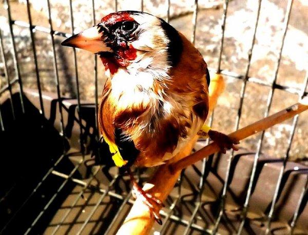 Toujours super beau même mouille  de : Mahy TiriGo #الحسون #المقنين #القرديل #سهره #Chardonnerert #Canari #Mulet #MuletOiseau #Oiseau #Birds #Animaux #Goldfich #Jilguero #Cardellino #καρδερίνα #Sakakuşu #Chien #Chat #Pigeon #Cheval #Science #Reptile #Poisson #Plantes #Hibiscus #Alger #Algérie #Tunisie #Maroc #ChardonneretGolden