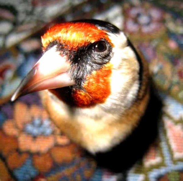 Le top de tous les oiseaux chanteurs <3 (y)  #الحسون #المقنين #القرديل #سهره #Chardonnerert #Canari #Mulet #MuletOiseau #Oiseau #Birds #Animaux #Goldfich #Jilguero #Cardellino #καρδερίνα #Sakakuşu #Chien #Chat #Pigeon #Cheval #Science #Reptile #Poisson #Plantes #Hibiscus #Alger #Algérie #Tunisie #Maroc #ChardonneretGolden
