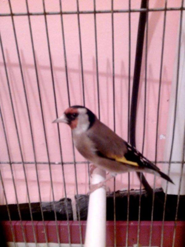Le Super beau <3 (y)  #الحسون #المقنين #القرديل #سهره #Chardonnerert #Canari #Mulet #MuletOiseau #Oiseau #Birds #Animaux #Goldfich #Jilguero #Cardellino #καρδερίνα #Sakakuşu #Chien #Chat #Pigeon #Cheval #Science #Reptile #Poisson #Plantes #Hibiscus #Alger #Algérie #Tunisie #Maroc #ChardonneretGolden