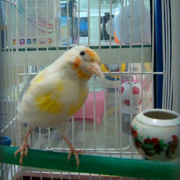 Magnifique Chardonneret Albinos <3 (y)  #الحسون #المقنين #القرديل #سهره #Chardonnerert #Canari #Mulet #MuletOiseau #Oiseau #Birds #Animaux #Goldfich #Jilguero #Cardellino #καρδερίνα #Sakakuşu #Chien #Chat #Pigeon #Cheval #Science #Reptile #Poisson #Plantes #Hibiscus #Alger #Algérie #Tunisie #Maroc #ChardonneretGolden