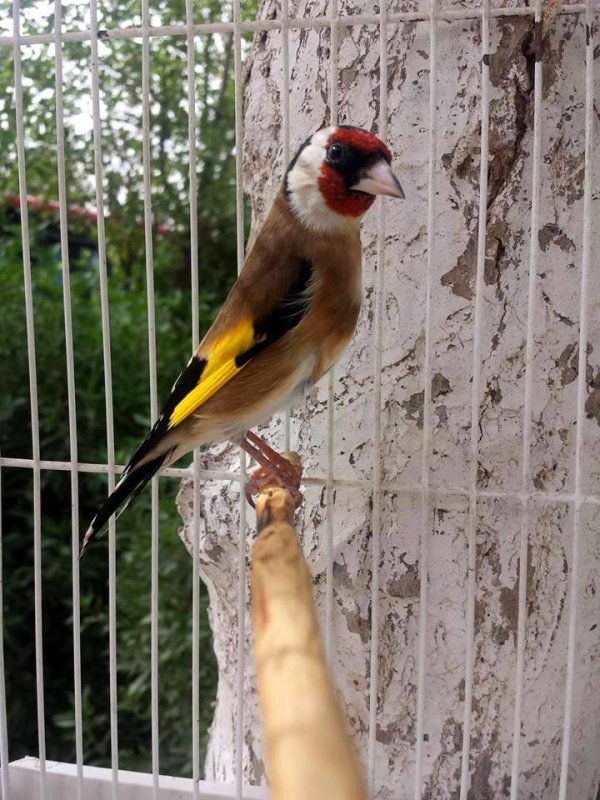 Très élégant  <3 (y)  #الحسون #المقنين #القرديل #سهره #Chardonnerert #Canari #Mulet #MuletOiseau #Oiseau #Birds #Animaux #Goldfich #Jilguero #Cardellino #καρδερίνα #Sakakuşu #Chien #Chat #Pigeon #Cheval #Science #Reptile #Poisson #Plantes #Hibiscus #Alger #Algérie #Tunisie #Maroc #ChardonneretGolden