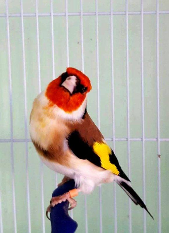 Magnifiquement beau <3 (y)  #الحسون #المقنين #القرديل #سهره #Chardonnerert #Canari #Mulet #MuletOiseau #Oiseau #Birds #Animaux #Goldfich #Jilguero #Cardellino #καρδερίνα #Sakakuşu #Chien #Chat #Pigeon #Cheval #Science #Reptile #Poisson #Plantes #Hibiscus #Alger #Algérie #Tunisie #Maroc #ChardonneretGolden