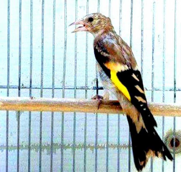 Quelle posture de ce jeune (y) de : Tou Tou #الحسون #المقنين #القرديل #سهره #Chardonnerert #Canari #Mulet #MuletOiseau #Oiseau #Birds #Animaux #Goldfich #Jilguero #Cardellino #καρδερίνα #Sakakuşu #Chien #Chat #Pigeon #Cheval #Science #Reptile #Poisson #Plantes #Hibiscus #Alger #Algérie #Tunisie #Maroc #ChardonneretGolden