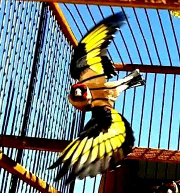 #الحسون #المقنين #القرديل #سهره #Chardonnerert #Canari #Mulet #MuletOiseau #Oiseau #Birds #Animaux #Goldfich #Jilguero #Cardellino #καρδερίνα #Sakakuşu #Chien #Chat #Pigeon #Cheval #Science #Reptile #Poisson #Plantes #Hibiscus #Alger #Algérie #Tunisie #Maroc #ChardonneretGolden