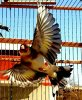 La beauté en vol  <3 Le Chardonneret toujours le meilleur <3 #الحسون #المقنين #القرديل #سهره #Chardonnerert #Canari #Mulet #MuletOiseau #Oiseau #Birds #Animaux #Goldfich #Jilguero #Cardellino #καρδερίνα #Sakakuşu #Chien #Chat #Pigeon #Cheval #Science #Reptile #Poisson #Plantes #Hibiscus #Alger #Algérie #Tunisie #Maroc #ChardonneretGolden