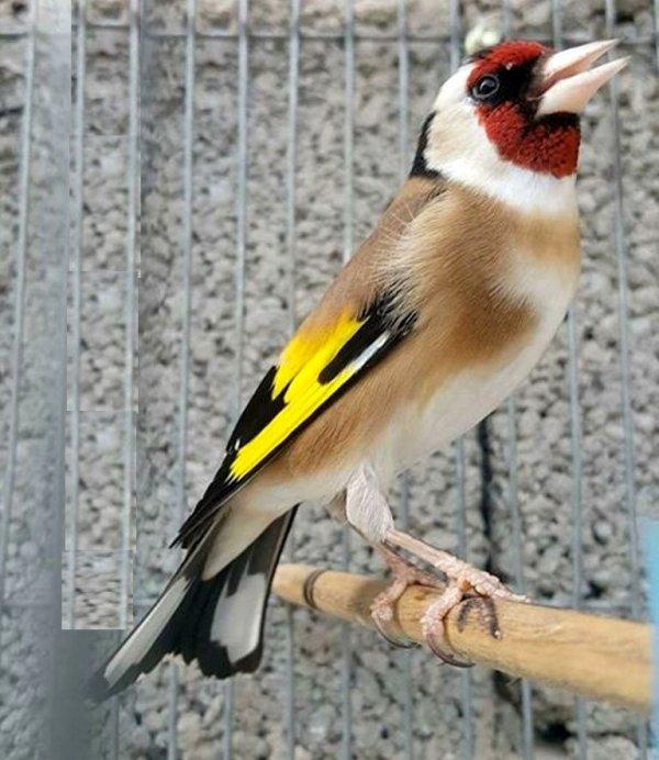 La puissance du Chant le grand Chardonneret une force incontournable pour l'écouter  <3 Le Chardonneret toujours le meilleur <3 #الحسون #المقنين #القرديل #سهره #Chardonnerert #Canari #Mulet #MuletOiseau #Oiseau #Birds #Animaux #Goldfich #Jilguero #Cardellino #καρδερίνα #Sakakuşu #Chien #Chat #Pigeon #Cheval #Science #Reptile #Poisson #Plantes #Hibiscus #Alger #Algérie #Tunisie #Maroc #ChardonneretGolden