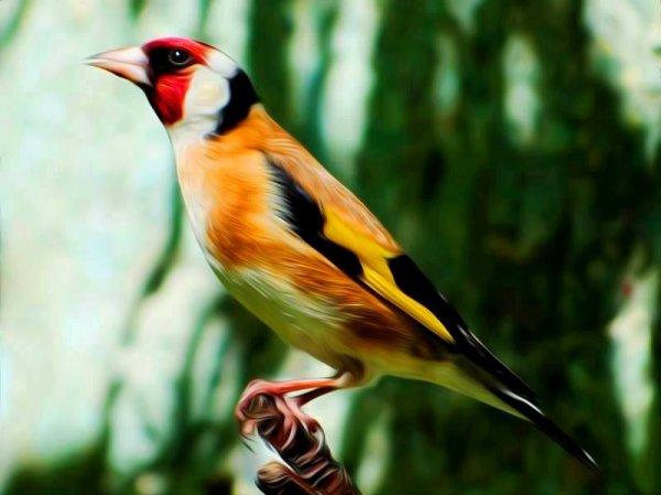 Très belle photo le Chardonneret au milieu naturel  #الحسون #المقنين #القرديل #سهره #Chardonnerert #Canari #Mulet #MuletOiseau #Oiseau #Birds #Animaux #Goldfich #Jilguero #Cardellino #καρδερίνα #Sakakuşu #Chien #Chat #Pigeon #Cheval #Science #Reptile #Poisson #Plantes #Hibiscus #Alger #Algérie #Tunisie #Maroc #ChardonneretGolden