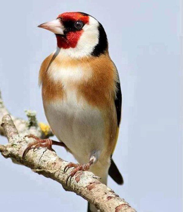 La Classe woow ;)  Très belle photo le Chardonneret au milieu naturel  #الحسون #المقنين #القرديل #سهره #Chardonnerert #Canari #Mulet #MuletOiseau #Oiseau #Birds #Animaux #Goldfich #Jilguero #Cardellino #καρδερίνα #Sakakuşu #Chien #Chat #Pigeon #Cheval #Science #Reptile #Poisson #Plantes #Hibiscus #Alger #Algérie #Tunisie #Maroc #ChardonneretGolden