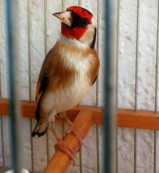 Très élégant (y)  de : Abdo Alazabi #الحسون #المقنين #القرديل #سهره #Chardonnerert #Canari #Mulet #MuletOiseau #Oiseau #Birds #Animaux #Goldfich #Jilguero #Cardellino #καρδερίνα #Sakakuşu #Chien #Chat #Pigeon #Cheval #Science #Reptile #Poisson #Plantes #Hibiscus #Alger #Algérie #Tunisie #Maroc #ChardonneretGolden