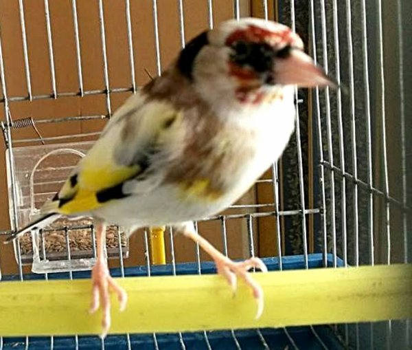 Magnifique Chardonneret panaché  ? ? ? Le Chardonneret Toujours le Meilleur ? https://www.facebook.com/ChardonneretGolden/  https://plus.google.com/+ChardonneretGolden  https://www.instagram.com/chardonneretgolden/  http://www.youtube.com/ChardonneretGolden  http://www.twitter.com/ChardonneretGol  http://chardonneretgolden.tumblr.com/  https://www.pinterest.com/chardonneretGol/  http://chardonneretgolden.skyrock.com/  https://chardonneretgolden.blogspot.com/  http://chadonneret.e-monsite.com/  #الحسون #المقنين #القرديل #سهره  #Chardonnerert #Canari #Mulet #MuletOiseau #Oiseau #Birds #Animaux #Goldfinch #Jilguero #Cardellino #καρδερίνα #Sakakuşu #Chien #Chat #Pigeon #Cheval #Science #Reptile #Poisson #Plantes #Hibiscus #Alger #Algérie #Tunisie #Maroc #ChardonneretGolden