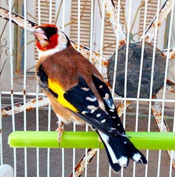 Top oiseau  ? ? ? Le Chardonneret Toujours le Meilleur ? https://www.facebook.com/ChardonneretGolden/  https://plus.google.com/+ChardonneretGolden  https://www.instagram.com/chardonneretgolden/  http://www.youtube.com/ChardonneretGolden  http://www.twitter.com/ChardonneretGol  http://chardonneretgolden.tumblr.com/  https://www.pinterest.com/chardonneretGolden/ http://chardonneretgolden.skyrock.com/  https://chardonneretgolden.blogspot.com/  http://chadonneret.e-monsite.com/  #الحسون #المقنين #القرديل #سهره  #Chardonnerert #Canari #Mulet #MuletOiseau #Oiseau #Birds #Animaux #Goldfinch #Jilguero #Cardellino #καρδερίνα #Sakakuşu #Chien #Chat #Pigeon #Cheval #Science #Reptile #Poisson #Plantes #Hibiscus #Alger #Algérie #Tunisie #Maroc #ChardonneretGolden