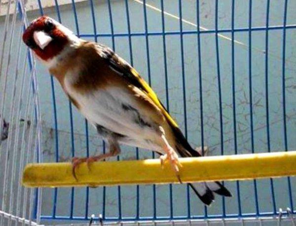 Le bon salut du Chardonneret  ? ? ? Le Chardonneret Toujours le Meilleur ? https://www.facebook.com/ChardonneretGolden/  https://plus.google.com/+ChardonneretGolden  https://www.instagram.com/chardonneretgolden/  http://www.youtube.com/ChardonneretGolden  http://www.twitter.com/ChardonneretGol  http://chardonneretgolden.tumblr.com/  https://www.pinterest.com/chardonneretGolden/ http://chardonneretgolden.skyrock.com/  https://chardonneretgolden.blogspot.com/  http://chadonneret.e-monsite.com/  #الحسون #المقنين #القرديل #سهره  #Chardonnerert #Canari #Mulet #MuletOiseau #Oiseau #Birds #Animaux #Goldfinch #Jilguero #Cardellino #καρδερίνα #Sakakuşu #Chien #Chat #Pigeon #Cheval #Science #Reptile #Poisson #Plantes #Hibiscus #Alger #Algérie #Tunisie #Maroc #ChardonneretGolden