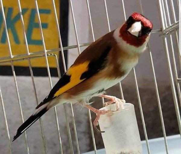 Le Roi  ? ? ? Le Chardonneret Toujours le Meilleur ? https://www.facebook.com/ChardonneretGolden/  https://plus.google.com/+ChardonneretGolden  https://www.instagram.com/chardonneretgolden/  http://www.youtube.com/ChardonneretGolden  http://www.twitter.com/ChardonneretGol  http://chardonneretgolden.tumblr.com/  https://www.pinterest.com/chardonneretGolden/ http://chardonneretgolden.skyrock.com/  https://chardonneretgolden.blogspot.com/  http://chadonneret.e-monsite.com/  #الحسون #المقنين #القرديل #سهره  #Chardonnerert #Canari #Mulet #MuletOiseau #Oiseau #Birds #Animaux #Goldfinch #Jilguero #Cardellino #καρδερίνα #Sakakuşu #Chien #Chat #Pigeon #Cheval #Science #Reptile #Poisson #Plantes #Hibiscus #Alger #Algérie #Tunisie #Maroc #ChardonneretGolden