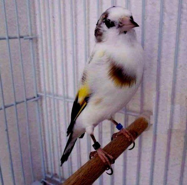 Vachement beau Le Chardonneret panaché wooow (y)  ? ? ? Le Chardonneret Toujours le Meilleur ? https://www.facebook.com/ChardonneretGolden/  https://plus.google.com/+ChardonneretGolden  https://www.instagram.com/chardonneretgolden/  http://www.youtube.com/ChardonneretGolden  http://www.twitter.com/ChardonneretGol  http://chardonneretgolden.tumblr.com/  https://www.pinterest.com/chardonneretGolden/ http://chardonneretgolden.skyrock.com/  https://chardonneretgolden.blogspot.com/  http://chadonneret.e-monsite.com/  #الحسون #المقنين #القرديل #سهره  #Chardonnerert #Canari #Mulet #MuletOiseau #Oiseau #Birds #Animaux #Goldfinch #Jilguero #Cardellino #καρδερίνα #Sakakuşu #Chien #Chat #Pigeon #Cheval #Science #Reptile #Poisson #Plantes #Hibiscus #Alger #Algérie #Tunisie #Maroc #ChardonneretGolden