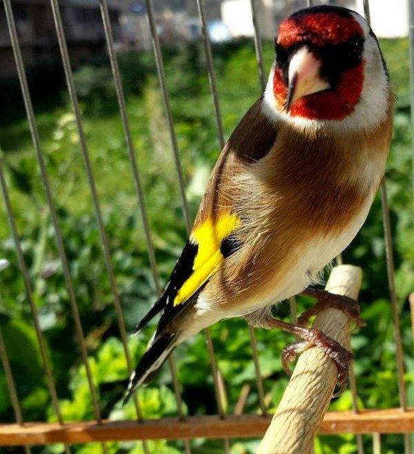 Oiseau Majestueux wooow  (y)  ? ? ? Le Chardonneret Toujours le Meilleur ? https://www.facebook.com/ChardonneretGolden/  https://plus.google.com/+ChardonneretGolden  https://www.instagram.com/chardonneretgolden/  http://www.youtube.com/ChardonneretGolden  http://www.twitter.com/ChardonneretGol  http://chardonneretgolden.tumblr.com/  https://www.pinterest.com/chardonneretGolden/ http://chardonneretgolden.skyrock.com/  https://chardonneretgolden.blogspot.com/  http://chadonneret.e-monsite.com/  #الحسون #المقنين #القرديل #سهره  #Chardonnerert #Canari #Mulet #MuletOiseau #Oiseau #Birds #Animaux #Goldfinch #Jilguero #Cardellino #καρδερίνα #Sakakuşu #Chien #Chat #Pigeon #Cheval #Science #Reptile #Poisson #Plantes #Hibiscus #Alger #Algérie #Tunisie #Maroc #ChardonneretGolden