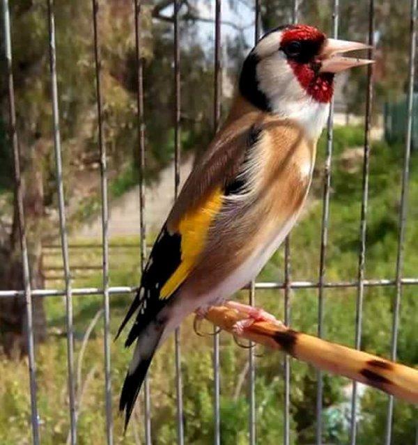 Le grand oiseau Chanteur au monde  (y)  ? ? ? Le Chardonneret Toujours le Meilleur ? https://www.facebook.com/ChardonneretGolden/  https://plus.google.com/+ChardonneretGolden  https://www.instagram.com/chardonneretgolden/  http://www.youtube.com/ChardonneretGolden  http://www.twitter.com/ChardonneretGol  http://chardonneretgolden.tumblr.com/  https://www.pinterest.com/chardonneretGolden/ http://chardonneretgolden.skyrock.com/  https://chardonneretgolden.blogspot.com/  http://chadonneret.e-monsite.com/  #الحسون #المقنين #القرديل #سهره  #Chardonnerert #Canari #Mulet #MuletOiseau #Oiseau #Birds #Animaux #Goldfinch #Jilguero #Cardellino #καρδερίνα #Sakakuşu #Chien #Chat #Pigeon #Cheval #Science #Reptile #Poisson #Plantes #Hibiscus #Alger #Algérie #Tunisie #Maroc #ChardonneretGolden