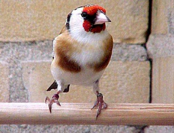 Magnifique Chardonneret  ???  ? Le Chardonneret Toujours le Meilleur ? https://www.facebook.com/ChardonneretGolden/  https://plus.google.com/+ChardonneretGolden  https://www.instagram.com/chardonneretgolden/  http://www.youtube.com/ChardonneretGolden  http://www.twitter.com/ChardonneretGol  http://chardonneretgolden.tumblr.com/  https://www.pinterest.com/chardonneretGolden/  http://chardonneretgolden.skyrock.com/  https://chardonneretgolden.blogspot.com/  http://chadonneret.e-monsite.com/  #الحسون #المقنين #القرديل #سهره  #Chardonnerert #Canari #Mulet #MuletOiseau #Oiseau #Birds #Animaux #Goldfinch #Jilguero #Cardellino #καρδερίνα #Sakakuşu #Chien #Chat #Pigeon #Cheval #Science #Reptile #Poisson #Plantes #Hibiscus #Alger #Algérie #Tunisie #Maroc #ChardonneretGolden