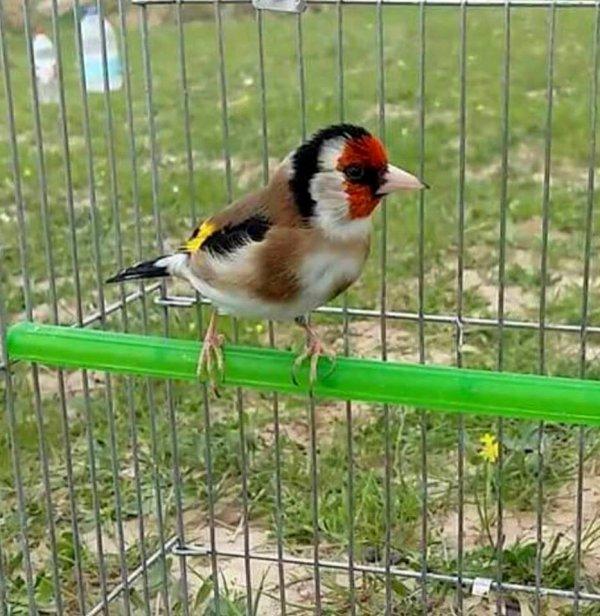 Magnifique  (y) ? Le Chardonneret Toujours le Meilleur ? https://www.facebook.com/ChardonneretGolden/  https://plus.google.com/+ChardonneretGolden  https://www.instagram.com/chardonneretgolden/  http://www.youtube.com/ChardonneretGolden  http://www.twitter.com/ChardonneretGol  http://chardonneretgolden.tumblr.com/  https://www.pinterest.com/chardonneretGolden/  http://chardonneretgolden.skyrock.com/  https://chardonneretgolden.blogspot.com/  http://chadonneret.e-monsite.com/  #الحسون #المقنين #القرديل #سهره  #Chardonnerert #Canari #Mulet #MuletOiseau #Oiseau #Birds #Animaux #Goldfinch #Jilguero #Cardellino #καρδερίνα #Sakakuşu #Chien #Chat #Pigeon #Cheval #Science #Reptile #Poisson #Plantes #Hibiscus #Alger #Algérie #Tunisie #Maroc #ChardonneretGolden
