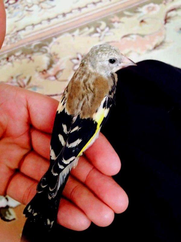 jeune Chardonneret dresse  (y) ? Le Chardonneret Toujours le Meilleur ? https://www.facebook.com/ChardonneretGolden/  https://plus.google.com/+ChardonneretGolden  https://www.instagram.com/chardonneretgolden/  http://www.youtube.com/ChardonneretGolden  http://www.twitter.com/ChardonneretGol  http://chardonneretgolden.tumblr.com/  https://www.pinterest.com/chardonneretGolden/  http://chardonneretgolden.skyrock.com/  https://chardonneretgolden.blogspot.com/  http://chadonneret.e-monsite.com/  #الحسون #المقنين #القرديل #سهره  #Chardonnerert #Canari #Mulet #MuletOiseau #Oiseau #Birds #Animaux #Goldfinch #Jilguero #Cardellino #καρδερίνα #Sakakuşu #Chien #Chat #Pigeon #Cheval #Science #Reptile #Poisson #Plantes #Hibiscus #Alger #Algérie #Tunisie #Maroc #ChardonneretGolden