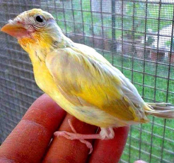 jeune Chardonneret isabelle  (y) ? Le Chardonneret Toujours le Meilleur ? https://www.facebook.com/ChardonneretGolden/  https://plus.google.com/+ChardonneretGolden  https://www.instagram.com/chardonneretgolden/  http://www.youtube.com/ChardonneretGolden  http://www.twitter.com/ChardonneretGol  http://chardonneretgolden.tumblr.com/  https://www.pinterest.com/chardonneretGolden/  http://chardonneretgolden.skyrock.com/  https://chardonneretgolden.blogspot.com/  http://chadonneret.e-monsite.com/  #الحسون #المقنين #القرديل #سهره  #Chardonnerert #Canari #Mulet #MuletOiseau #Oiseau #Birds #Animaux #Goldfinch #Jilguero #Cardellino #καρδερίνα #Sakakuşu #Chien #Chat #Pigeon #Cheval #Science #Reptile #Poisson #Plantes #Hibiscus #Alger #Algérie #Tunisie #Maroc #ChardonneretGolden