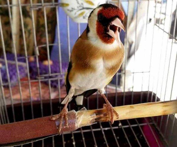 Meilleur oiseau Chanteur  (y) ? Le Chardonneret Toujours le Meilleur ? https://www.facebook.com/ChardonneretGolden/  https://plus.google.com/+ChardonneretGolden  https://www.instagram.com/chardonneretgolden/  http://www.youtube.com/ChardonneretGolden  http://www.twitter.com/ChardonneretGol  http://chardonneretgolden.tumblr.com/  https://www.pinterest.com/chardonneretGolden/  http://chardonneretgolden.skyrock.com/  https://chardonneretgolden.blogspot.com/  http://chadonneret.e-monsite.com/  #الحسون #المقنين #القرديل #سهره  #Chardonnerert #Canari #Mulet #MuletOiseau #Oiseau #Birds #Animaux #Goldfinch #Jilguero #Cardellino #καρδερίνα #Sakakuşu #Chien #Chat #Pigeon #Cheval #Science #Reptile #Poisson #Plantes #Hibiscus #Alger #Algérie #Tunisie #Maroc #ChardonneretGolden