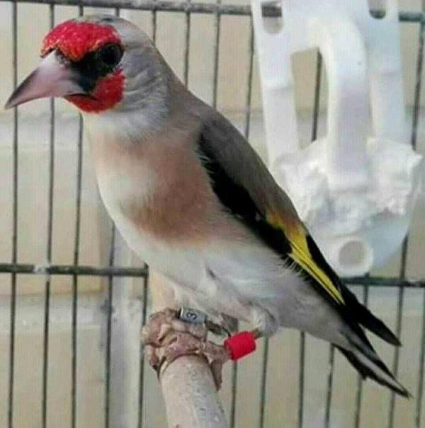 Le Magnifique Chardonneret gris de Himalaya wooow ? Le Chardonneret Toujours le Meilleur ? #الحسون #المقنين #القرديل #سهره  #Chardonnerert #Canari #Mulet #MuletOiseau #Oiseau #Birds #Animaux #Goldfinch #Jilguero #Cardellino #καρδερίνα #Sakakuşu #Chien #Chat #Pigeon #Cheval #Science #Reptile #Poisson #Plantes #Hibiscus #Alger #Algérie #Tunisie #Maroc #ChardonneretGolden