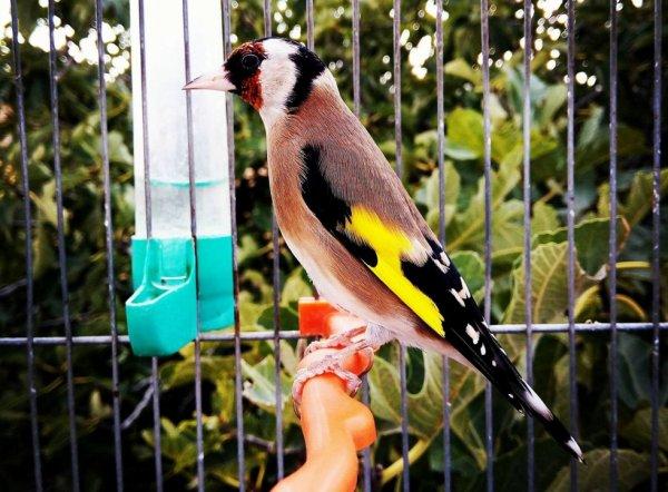 Magnifiquement beau wooow ? Le Chardonneret Toujours le Meilleur ? #الحسون #المقنين #القرديل #سهره  #Chardonnerert #Canari #Mulet #MuletOiseau #Oiseau #Birds #Animaux #Goldfinch #Jilguero #Cardellino #καρδερίνα #Sakakuşu #Chien #Chat #Pigeon #Cheval #Science #Reptile #Poisson #Plantes #Hibiscus #Alger #Algérie #Tunisie #Maroc #ChardonneretGolden