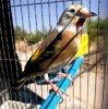 La beauté époustouflante du Chardonneret Panaché wooow ? Le Chardonneret Toujours le Meilleur ? #الحسون #المقنين #القرديل #سهره  #Chardonnerert #Canari #Mulet #MuletOiseau #Oiseau #Birds #Animaux #Goldfinch #Jilguero #Cardellino #καρδερίνα #Sakakuşu #Chien #Chat #Pigeon #Cheval #Science #Reptile #Poisson #Plantes #Hibiscus #Alger #Algérie #Tunisie #Maroc #ChardonneretGolden