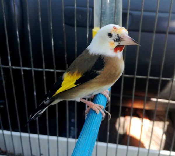 La splendeur du Chardonneret Panaché wooow ? Le Chardonneret Toujours le Meilleur ? #الحسون #المقنين #القرديل #سهره  #Chardonnerert #Canari #Mulet #MuletOiseau #Oiseau #Birds #Animaux #Goldfinch #Jilguero #Cardellino #καρδερίνα #Sakakuşu #Chien #Chat #Pigeon #Cheval #Science #Reptile #Poisson #Plantes #Hibiscus #Alger #Algérie #Tunisie #Maroc #ChardonneretGolden