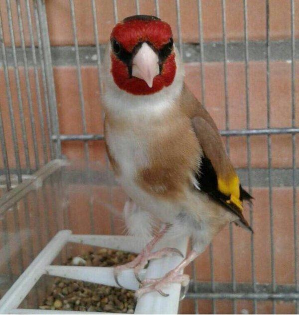 ? Le Chardonneret Toujours le Meilleur ? <3 ??  https://www.facebook.com/ChardonneretGolden/  https://plus.google.com/+ChardonneretGolden  https://www.instagram.com/chardonneretgolden/  http://www.youtube.com/ChardonneretGolden  http://www.twitter.com/ChardonneretGol  http://chardonneretgolden.tumblr.com/  https://www.pinterest.com/chardonneretGolden/  http://chardonneretgolden.skyrock.com/  https://chardonneretgolden.blogspot.com/  http://chadonneret.e-monsite.com/  #الحسون #المقنين #القرديل #سهره  #Chardonnerert #Canari #Mulet #MuletOiseau #Oiseau #Birds #Animaux #Goldfinch #Jilguero #Cardellino #καρδερίνα #Sakakuşu #Chien #Chat #Pigeon #Cheval #Science #Reptile #Poisson #Plantes #Hibiscus #Alger #Algérie #Tunisie #Maroc #ChardonneretGolden
