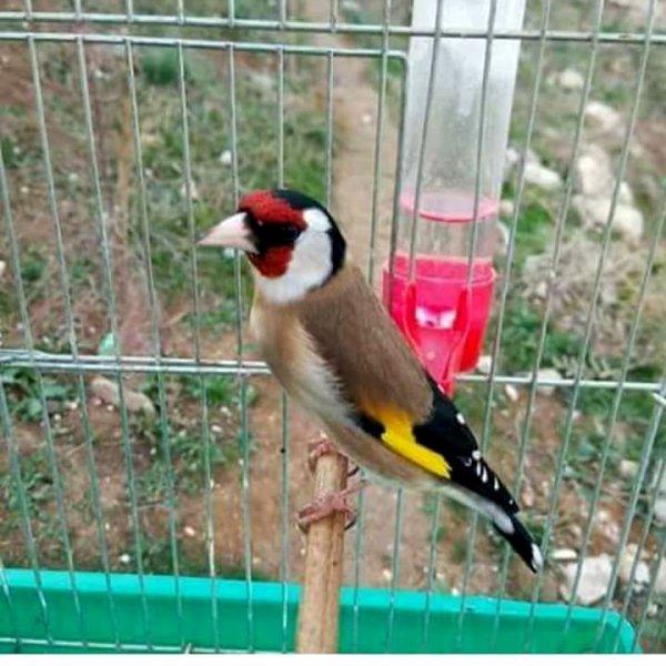 ? Le Chardonneret Toujours le Meilleur ? ❤ ??  https://www.facebook.com/ChardonneretGolden/  https://plus.google.com/+ChardonneretGolden  https://www.instagram.com/chardonneretgolden/  http://www.youtube.com/ChardonneretGolden  http://www.twitter.com/ChardonneretGol  http://chardonneretgolden.tumblr.com/  https://www.pinterest.com/chardonneretGolden/  http://chardonneretgolden.skyrock.com/  https://chardonneretgolden.blogspot.com/  http://chadonneret.e-monsite.com/  #الحسون #المقنين #القرديل #سهره  #Chardonnerert #Canari #Mulet #MuletOiseau #Oiseau #Birds #Animaux #Goldfinch #Jilguero #Cardellino #καρδερίνα #Sakakuşu #Chien #Chat #Pigeon #Cheval #Science #Reptile #Poisson #Plantes #Hibiscus #Alger #Algérie #Tunisie #Maroc #ChardonneretGolden
