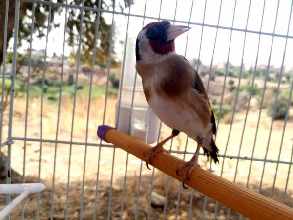 ? Le Chardonneret Toujours le Meilleur ? ❤ ??  https://www.facebook.com/ChardonneretGolden/  https://plus.google.com/+ChardonneretGolden  https://www.instagram.com/chardonneretgolden/  http://www.youtube.com/ChardonneretGolden  http://www.twitter.com/ChardonneretGol  http://chardonneretgolden.tumblr.com/  https://www.pinterest.com/chardonneretGolden/  http://chardonneretgolden.skyrock.com/  https://chardonneretgolden.blogspot.com/  https://chadonneret.e-monsite.com/  #الحسون #المقنين #القرديل #سهره  #ChardonneretGolden #Chardonnerert #Goldfinch #Jilguero #Cardellino #καρδερίνα #Sakakuşu #Canari #Mulet #MuletOiseau #Oiseau #Birds #Chat #Chien #Cheval #Pigeon #Poisson #Reptile #Hibiscus #Animaux #Plantes #Science #Alger #Algérie #Tunisie #Maroc